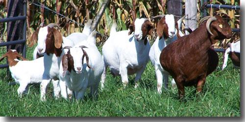 Back 2 Nature Boer Goats - Boer Goats in Illinois