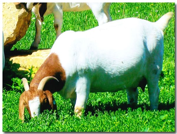 Money Penny - Boer Goat Doe